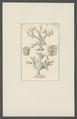 Millepora truncata - - Print - Iconographia Zoologica - Special Collections University of Amsterdam - UBAINV0274 111 07 0015.tif