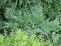 Molopospermum-peloponnesiacum.jpg