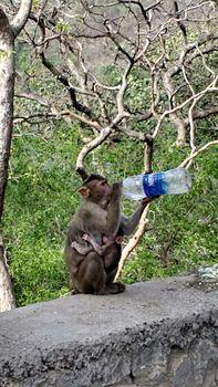 Monkey in heat.jpg