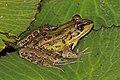Montane leopard frog (Lithobates taylori) 4.jpg