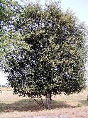 Moor-Birke (Betula pubescens)
