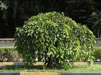 Krishnasami Venkataraman - Morus alba