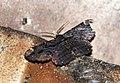 Moths from Parambikulam T R -002.jpg