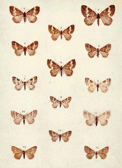 Moths of the British Isles Series2 Plate083.jpg