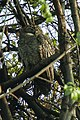 Mottled Wood-Owl - Bandavhgarh 0038.jpg