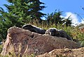 Mount Rainier - September 2017 - Hoary marmots 16 (cropped).jpg