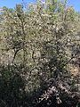 Mountain mahogany (9294650300).jpg
