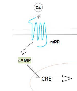 Membrane progesterone receptor - Image: Mpr pathway example