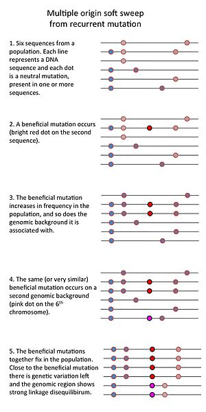 Selective sweep - This is a cartoon drawing of a multiple origin soft selective sweep from recurrent mutation. It shows the different steps (a beneficial mutation occurs and increases in frequency, but before it fixes the same mutation occurs again on a second genomic background, together, the mutations fix in the population) and the effect on nearby genetic variation.