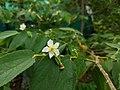 Muntingia calabura- Jamaica Cherry, Panama Cherry, Singapore Cherry. 4.jpg