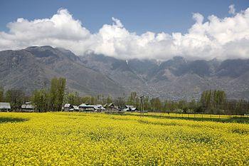 Mustard field in Kashmir.jpg