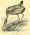 Mycteria americana 1891.jpg