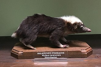 Sunda stink badger - Mydaus javanensis