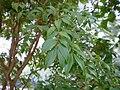 Myrciaria cauliflora leaves.jpg