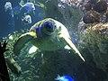 Myrtle the Green Sea Turtle 06.jpg