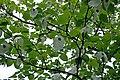 Näsduksträd 2.jpg