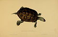 N162 Sowerby & Lear 1872 (malaclemys terrapin).jpg