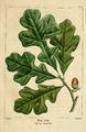 NAS-005 Quercus stellata.png