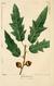 NAS-018 Quercus × heterophylla.png