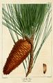 NAS-144 Pinus taeda.png