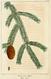 NAS-147 Picea mariana.png
