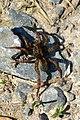 NSG Hellental - Wolfspinne (Lycosidae) (1).jpg