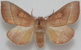 Rough prominent - Image: Nadata gibbosa, MM