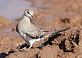 Namaqua dove, Oena capensis, at Mapungubwe National Park, Limpopo, South Africa (17902914729).jpg