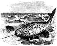 narwhal wiktionary