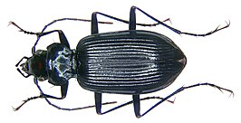 Nebria jockischii