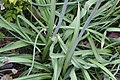 Nectaroscordum siculum bulgaricum 4zz.jpg