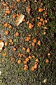 Nectria cinnabarina 58765802.jpg