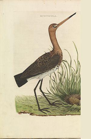 Nederlandsche vogelen (KB) - Limosa limosa (052b).jpg