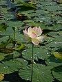 Nelumbo nucifera – Arboretum Ellerhoop 12.jpg