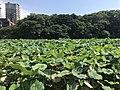 Nelumbo nucifera in north moat of Fukuoka Castle 12.jpg