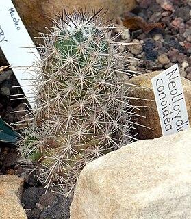 <i>Neolloydia conoidea</i> species of plant