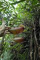 Nepenthes surigaoensis lower pitchers Pantaron Range2.jpg