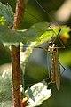 Nephrotoma.appendiculata.male.jpg