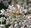 Nephrotoma sp.^ (a Tiger Crane Fly) - Flickr - S. Rae.jpg