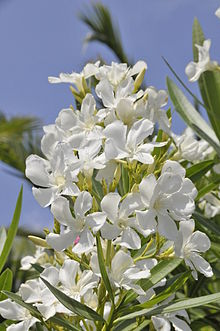 220px-Nerium_Oleander.JPG