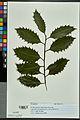 Neuchâtel Herbarium - Ilex aquifolium - NEU000027835.jpg