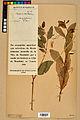 Neuchâtel Herbarium - Impatiens noli-tangere - NEU000019939.jpg