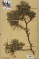 Neuchâtel Herbarium - Pinus sylvestris - NEU000003764.tiff