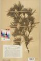 Neuchâtel Herbarium - Pinus sylvestris - NEU000003770.tif