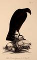 Neue Wirbelthiere zu der Fauna von Abyssinien gehörig (1835) Circaetus cinereus.png