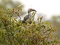 Neushoornvogel (6290940924).jpg