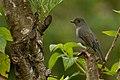 Nilgiri Flycatcher - Female DSC4183.jpg