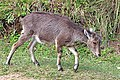 Nilgiri tahr (Nilgiritragus hylocrius) juvenile.jpg