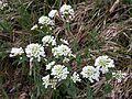 Noccaea goesingensis sl11.jpg
