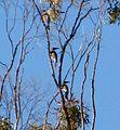 Noisy Friarbirds. Philemon corniculatus (15184307623).jpg
